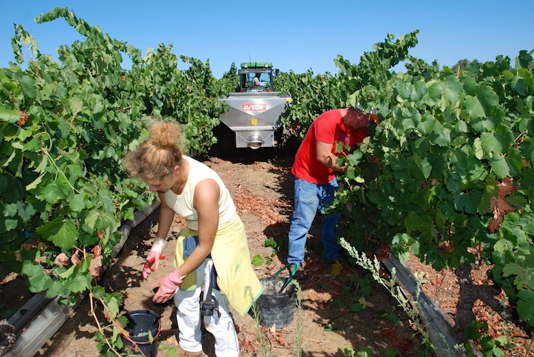 Grape_harvesting
