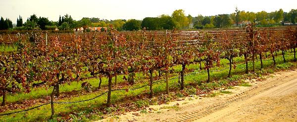 Setubal vines