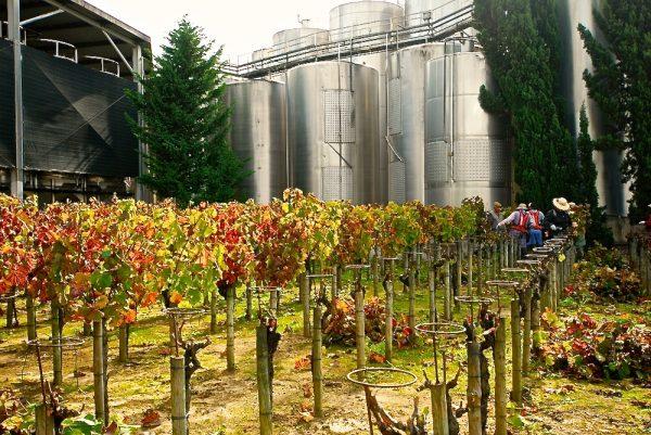Cutting back the vines at a Setúbal Peninsula winery