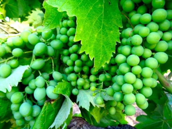 Young Portuguese grapes